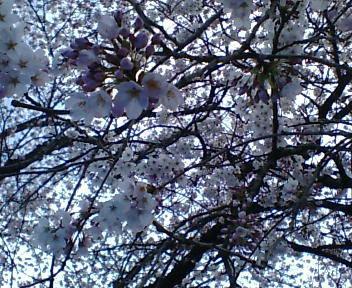 桜はいいね~