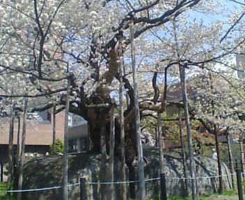 地◆石割桜